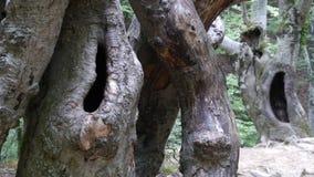 De Krim, een grote boom Stock Foto