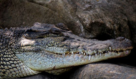 De krokodil Stock Afbeeldingen