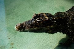 De krokodil royalty-vrije stock afbeeldingen