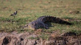 De krokodil die van Nijl bij Okavango-delta sluimeren Royalty-vrije Stock Afbeeldingen