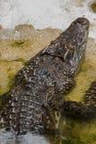 De krokodil is in het water stock afbeeldingen