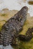 De krokodil is in het water royalty-vrije stock fotografie