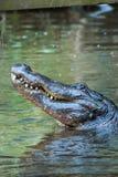 De krokodil houdt zijn hoofd uit het water tegen die zijn tanden tonen Royalty-vrije Stock Afbeeldingen