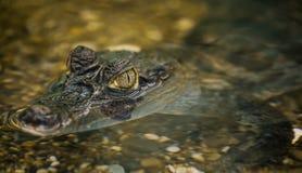 De krokodil ligt op de rotsachtige bodem Stock Foto