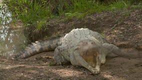De Krokodil Open Kaken van Orinoco wanneer Geraakt, Colombia stock videobeelden