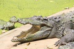 De krokodil is open mond royalty-vrije stock foto's