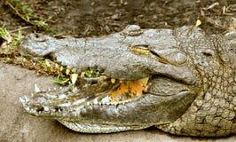 De krokodil toont zijn tanden Stock Fotografie