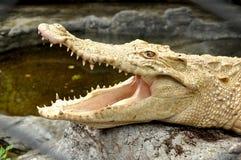 De krokodil van de albino Royalty-vrije Stock Afbeelding