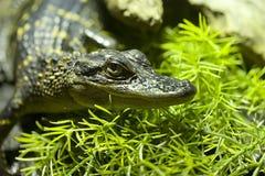 De Krokodil van de baby Royalty-vrije Stock Afbeelding