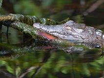 De Krokodil van de baby Stock Afbeelding