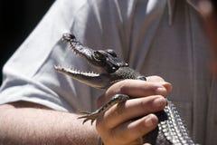 De Krokodil van de baby Stock Afbeeldingen
