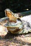 De Krokodil van het moeras met brede Open van de Mond royalty-vrije stock fotografie