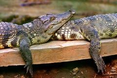 De krokodil van het paar Royalty-vrije Stock Afbeeldingen