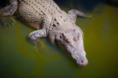 De Krokodil van het zoutwater stock fotografie