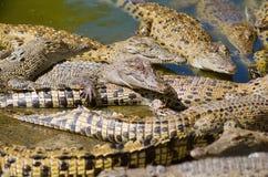 De Krokodil van het zoutwater royalty-vrije stock foto