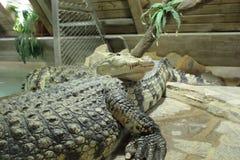 De krokodil van het zoutwater royalty-vrije stock afbeeldingen