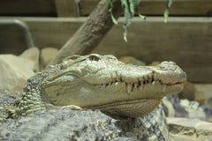 De krokodil van het zoutwater royalty-vrije stock afbeelding