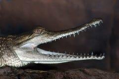 De Krokodil van het zoutwater stock foto's
