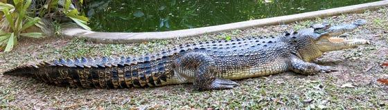 De Krokodil van het zoutwater, Australië stock fotografie