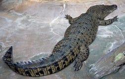 Krokodil 1 van het zoutwater royalty-vrije stock afbeeldingen