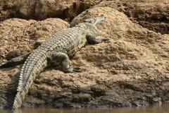 De krokodil van Nijl, Maasai Mara Game Reserve, Kenia Stock Fotografie