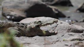 De krokodil van Nijl met open mond stock footage