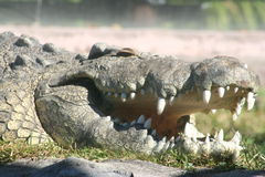 De Krokodil van Nijl (niloticus Crocodylus) Royalty-vrije Stock Foto