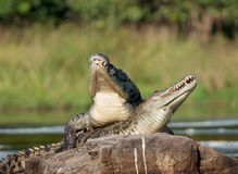 De krokodil van Nijl (niloticus Crocodylus die), koppelt, Royalty-vrije Stock Foto