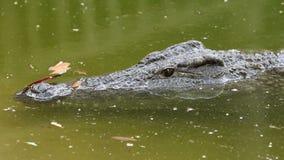 De krokodil van Nijl in water stock video