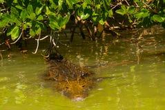De krokodil zwemt in de rivier Rio Lagartos, Yucatan, Mexico royalty-vrije stock afbeeldingen