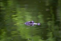 De krokodilcentrum van Chongqing van de Alligator Stock Afbeeldingen