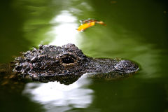 De krokodilcentrum van Chongqing van de Alligator Stock Foto