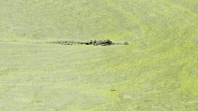 De krokodille Jacht in Eendekroos Stock Foto's