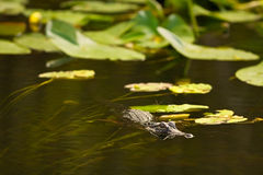 De krokodille jacht in Everglades, Florida Royalty-vrije Stock Foto's