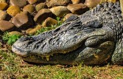 De krokodilleglimlach van ` s Stock Foto