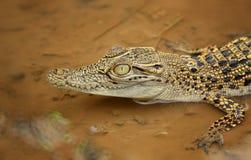 De Krokodillen stock foto's
