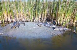 De krokodillen in Alligator ontspannen op een bankwezen in Gambia, West-Afrika Stock Fotografie