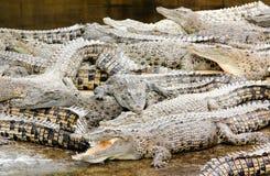 De krokodillen bewerkten voor vlees in behoudsinspanning Stock Fotografie