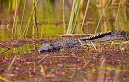De krokodillen Crocodilia zijn grote aquatische reptielen die door de keerkringen in Afrika, Azië, Amerika en Australië leven stock foto's