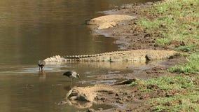 De krokodillen die van Nijl met hadedaibissen zonnebaden stock video