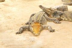 de krokodillen liggen op een steen Stock Fotografie