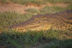 De krokodillen van Nijl, in het Nationale Park van Chobe, Botswana royalty-vrije stock fotografie