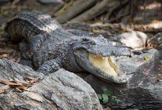 De krokodillen worden zijn mond geopend om de temperatuur aan te passen Stock Afbeelding