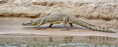 De krokodillen zijn grote aquatische reptielen die door de keerkringen in Afrika, Azi?, Amerika en Australi? leven royalty-vrije stock afbeelding