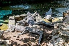 De krokodillen zonnebaden bij de dierentuin stock afbeelding