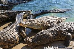 De krokodillen zonnebaden in de zon, liggen op het zand, eten en stoeien stock afbeeldingen