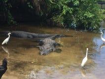De krokodilwereld van Florida Royalty-vrije Stock Afbeeldingen