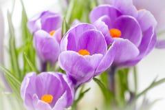 De krokus bloeit dicht omhoog Het macro ontspruiten stock afbeelding