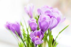 De krokus bloeit dicht omhoog Het macro ontspruiten stock fotografie