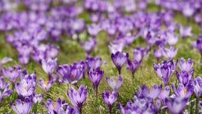 De krokus bloeit gebied stock videobeelden
